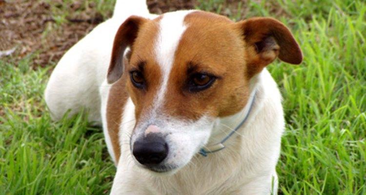 O Jack Russell Terrier têm queda de pelo por variadas razões