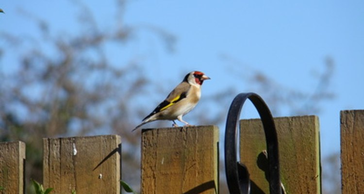 The European Goldfinch, Carduelis carduelis