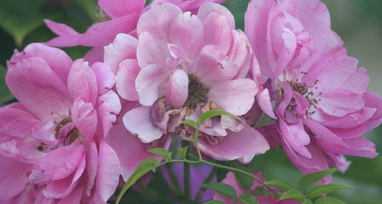 Floribunda roses are valued for their dependable display in the landscape.