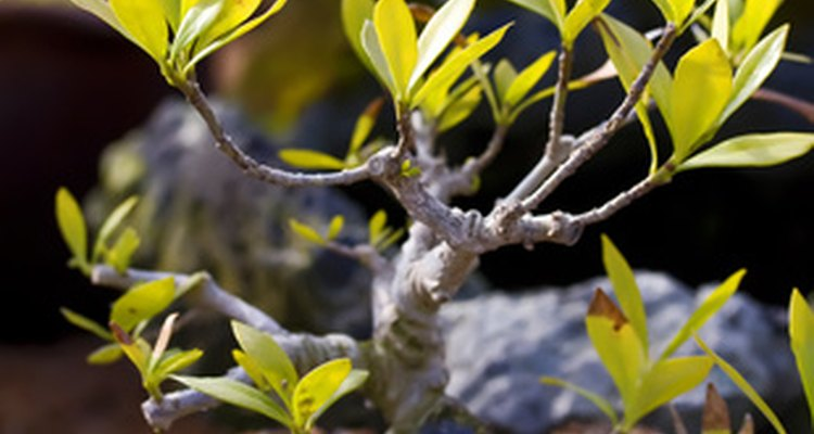 Plants with twisting trunks give interest to a room but you don't have to be a master gardener to care for one.