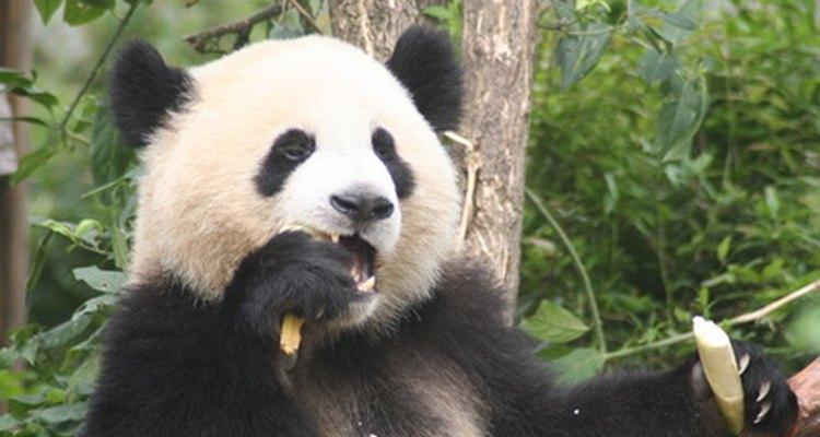 El panda gigante es un come pasto de un sólo estómago, que sobrevive principalmente a base de bambú.