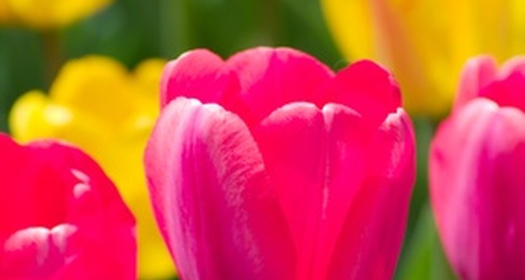 The tulip is a single bloom flower.