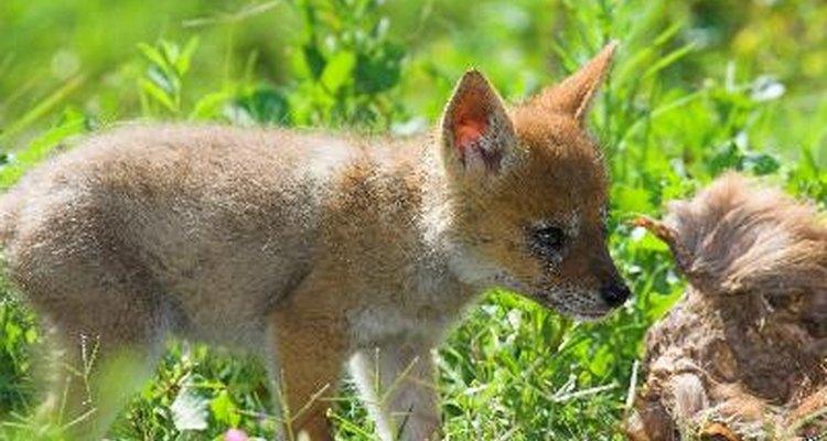 Los dueños de casas que vivan cerca de bosques pueden encontrar a menudo crías de zorros o zorrillos en el patio frontal.