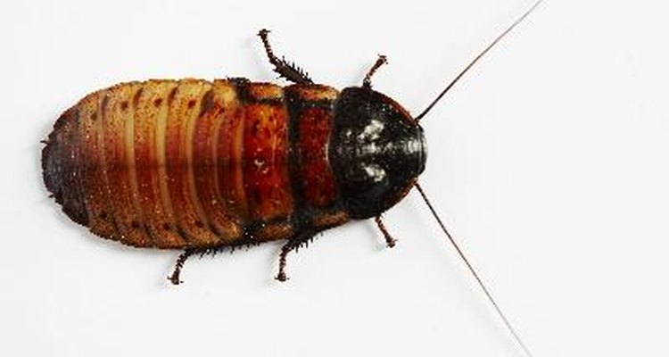 Las cucarachas son portadoras de infecciones y enfermedades.