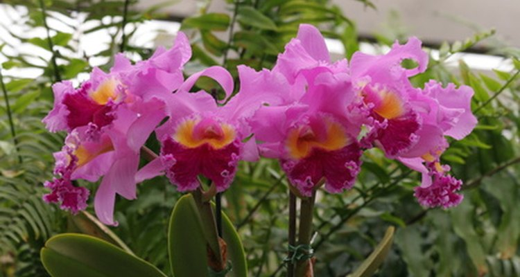 La orquídea es la flor nacional venezolana.