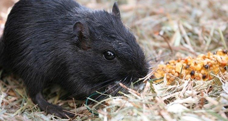 Infestações de roedores são um problema frustrante