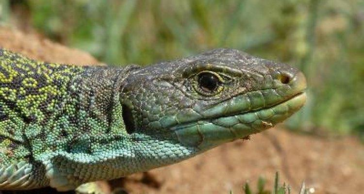 Los lagartos pueden servir como alimento para tucanes.