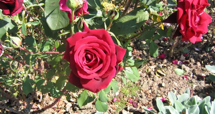 Shrub roses are hardy and dependable.