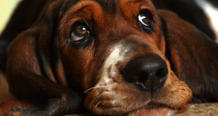 Los perros con orejas colgantes, también conocidos como orejas caídas, necesitan que sus orejas se limpien con regularidad.