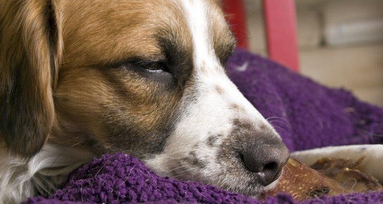 Lleva a tu perro para una revisación para evitar serias complicaciones retrasadas.