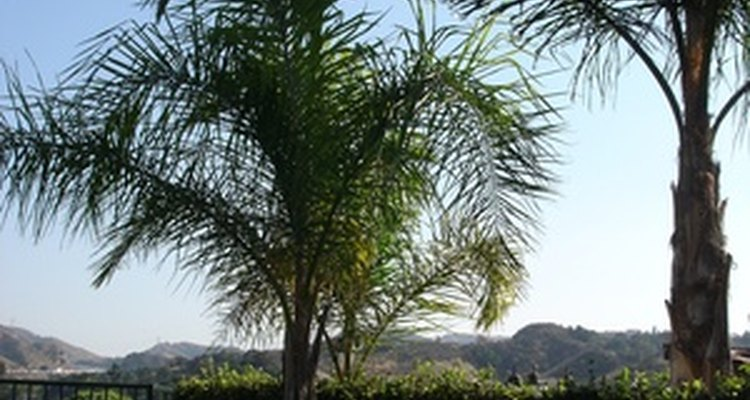 Provide the appropriate amount of water and the right type of fertiliser to help your palmera plant grow.