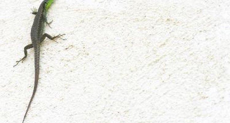 Los lagartos parecen dinosaurios en miniatura.