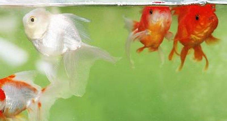 Mantén el agua de tu tanque limpia para tener peces saludables.