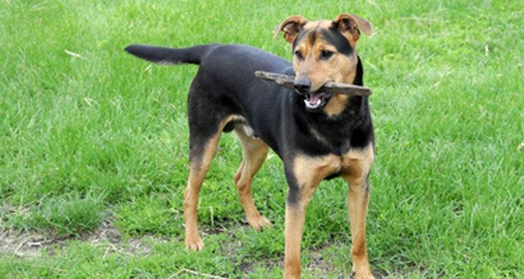 Los perros normalmente soportan el peso en forma equilibrada en sus piernas.