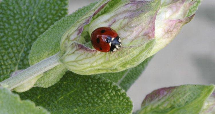 As joaninhas podem comer folhas, insetos pequenos ou algumas frutas