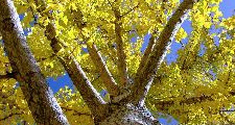 A ginkgo biloba é famosa por suas propriedades medicinais.