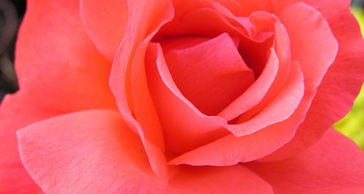 The hybrid tea features large, elegant, single blooms on long cutting stems.