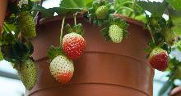 Las frutillas, las hierbas y otras plantas pequeñas crecen bien en macetas para frutillas.