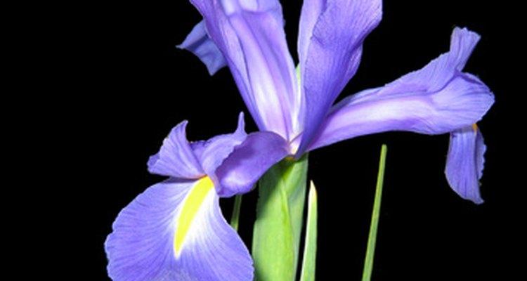 El iris es la flor tradicional del 25 aniversario de boda.
