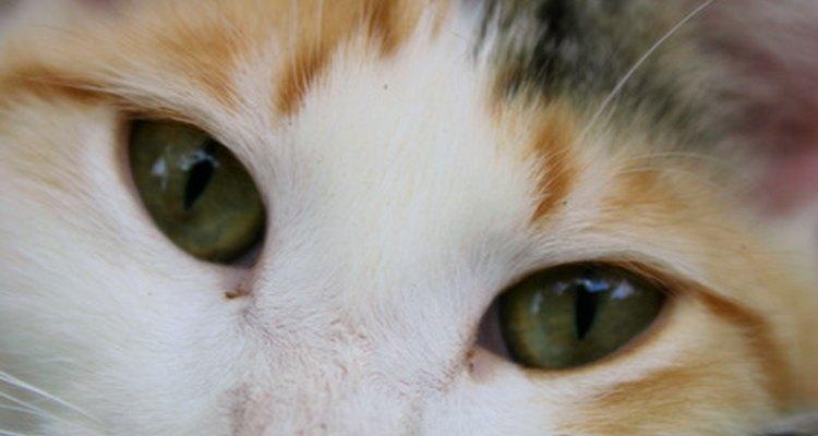 Saber a personalidade de seu gato tricolor é tão fácil quanto saber a sua raça