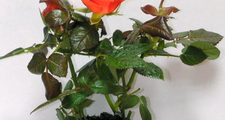 Las rosas en miniaturas crecen bien en macetas para flores en el interior o exterior.