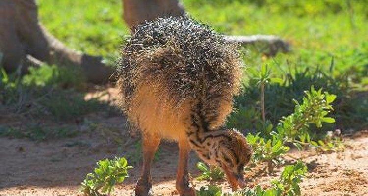 Cuida a tus avestruces bebés.