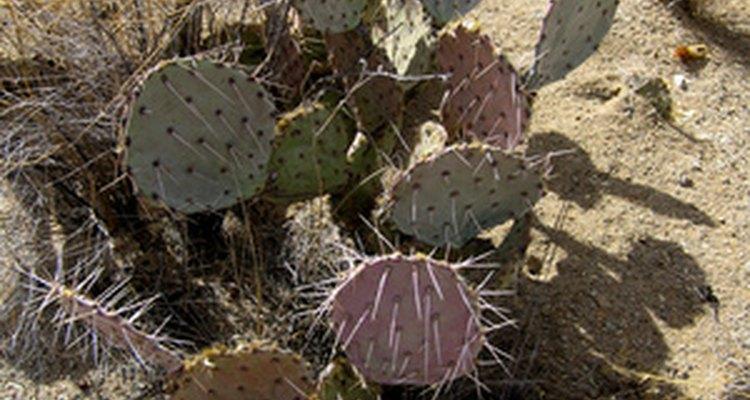 Los cactus crecen en climas áridos.