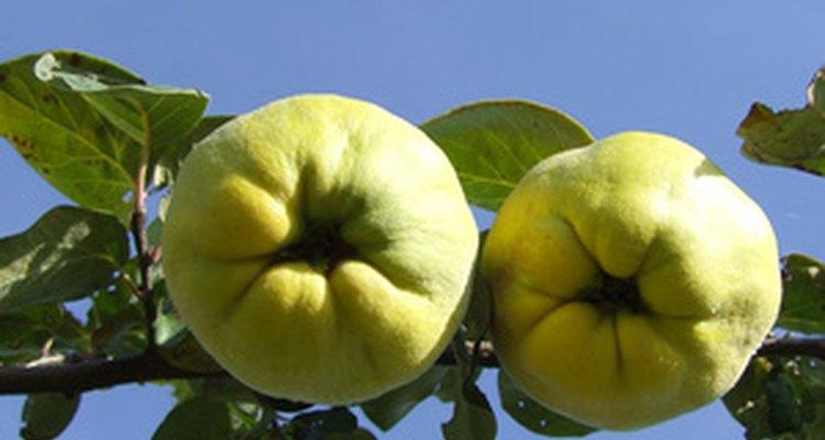 Los membrillos quedan de color amarillo cuando maduran.