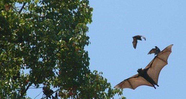 Ao contrário da crença popular, os morcegos raramente mordem seres humanos