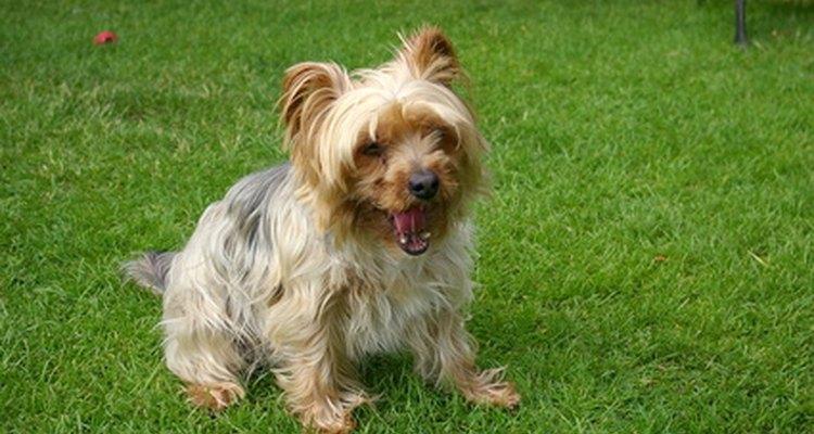 Los Yorkshire terriers son una raza toy.