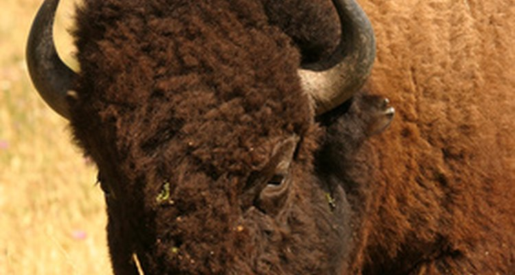 Comparação entre couro de búfalo e de gado doméstico