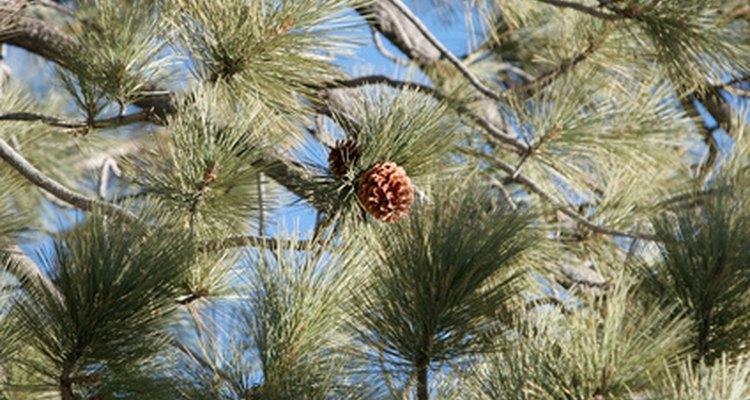 Los pinos ayudan a formar el ecosistema del jardín.