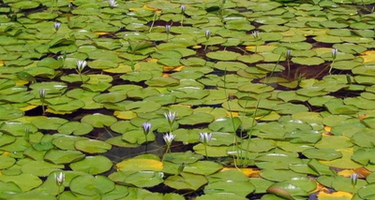 El lirio americano invasivo puede formar monocultivos en muchos de los hábitats en que se introdujo, ahogando cualquier otra forma de vida vegetal.