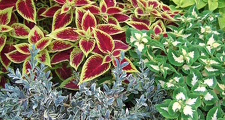 Coleus forskohlii es una variedad de las plantas coleus.
