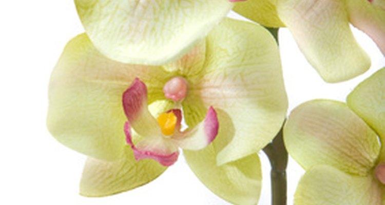 En realidad, las orquídeas no se cultivan a partir de bulbos.