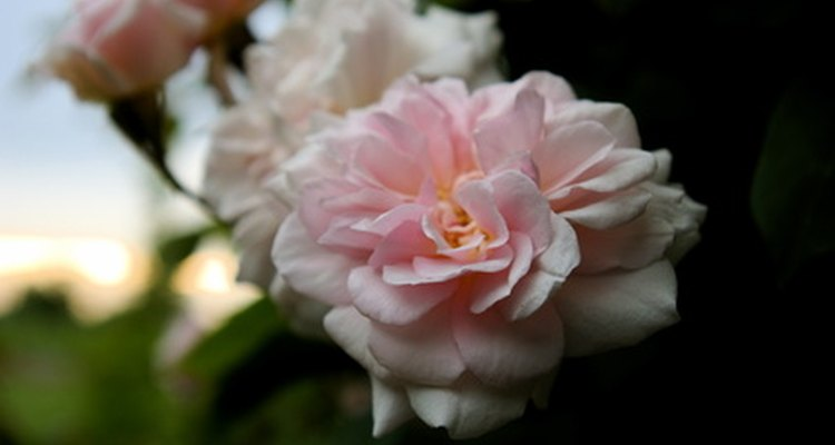 Queen Elizabeth climbing rose.