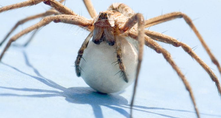 Uma aranha protege a bolsa de ovos