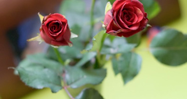 Enjoy a bouquet of healthy roses.