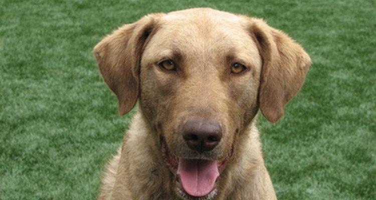 Muchos perros aman comer hierba.