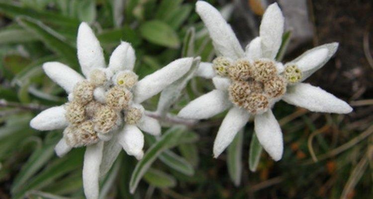 La pequeña flor Edelweiss.