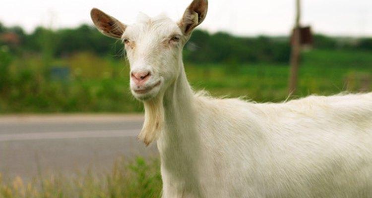 Uma cabra leiteira Saanen pode ser uma boa fonte de leite nutritivo
