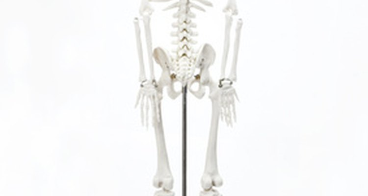 Have a drawing of a skeleton handy while you sculpt this clay model.