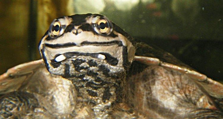 A las tortugas les gusta comer pescado, ranas, salamandras, tritones y caracoles, por lo que es difícil encontrar un animal de compañía adecuado.