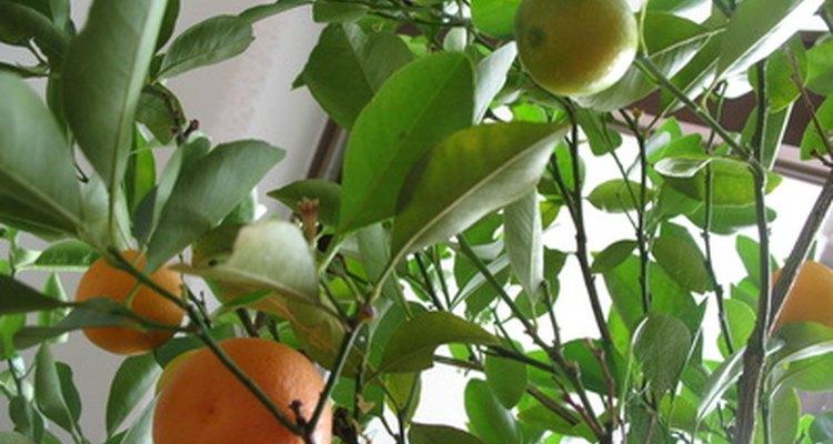 Los naranjos de acolchado precisan menos agua.