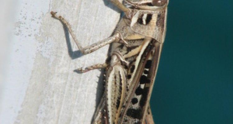 Os grilos são insetos noturnos com corpos delgados longos
