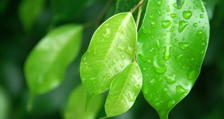 Las pequeñas y brillantes hojas del Ficus benjamina a pleno sol.