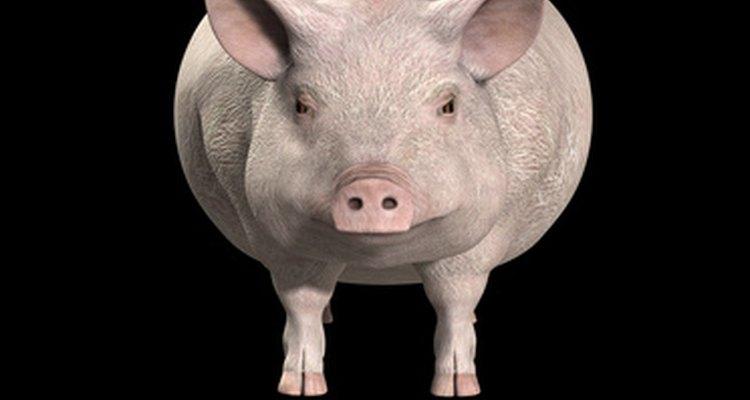 Os porcos são mais felizes quando protegidos