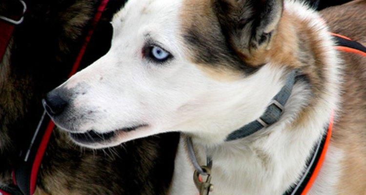 Los Huskies tienen a menudo un ojo azul y uno marrón.