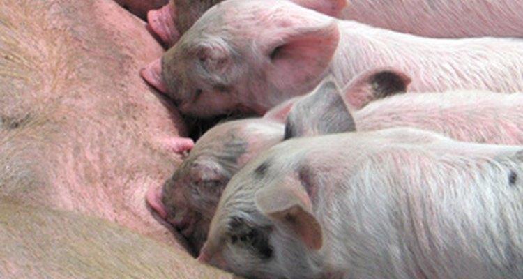 Porcos bebê que ainda mamam são conhecidos como leitões até que sejam desmamados