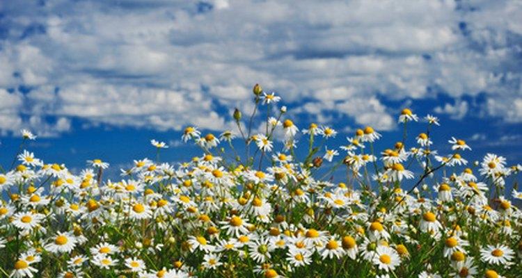Las flores de la manzanilla se asemejan a las margaritas.